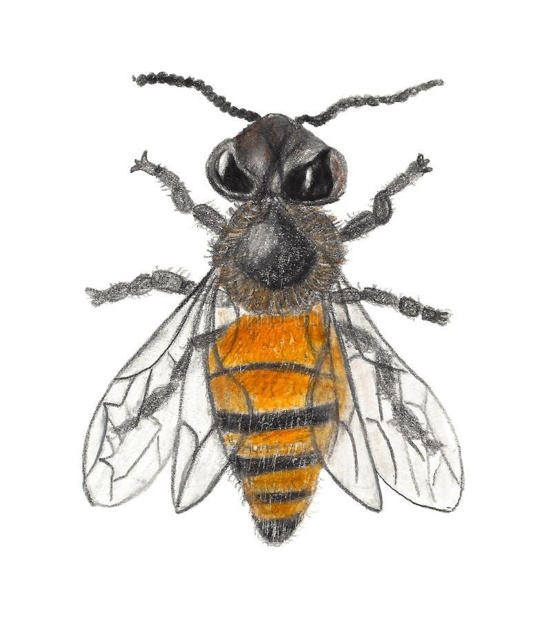 Botaniczny rysunek Miodowa pszczoła royalty ilustracja