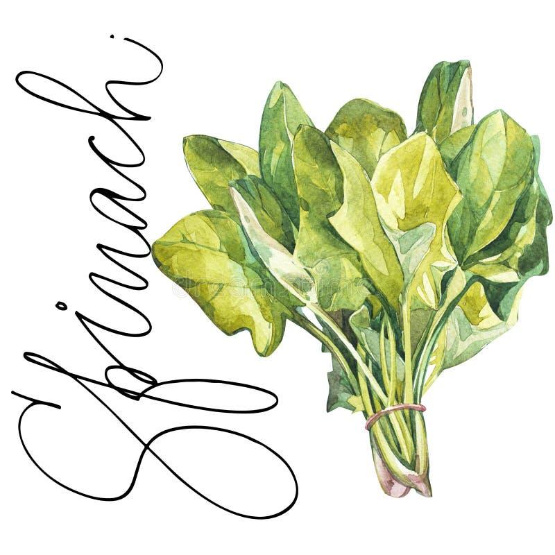 Botaniczny rysunek szpinak Akwareli piękna ilustracja kulinarni ziele używać dla gotować i garnirunku ilustracja wektor