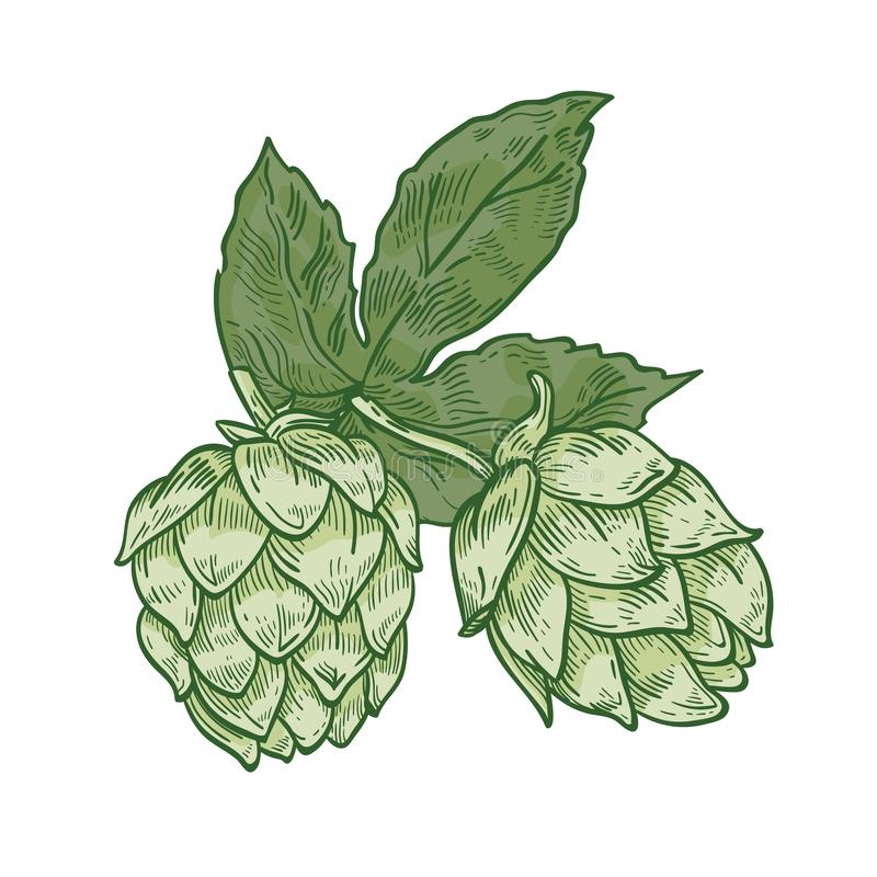Botaniczny rysunek zieleni świezi organicznie chmielu kwiatu pączki i liście Szczegół kultywujący dla piwa odwiecznie roślina ilustracji