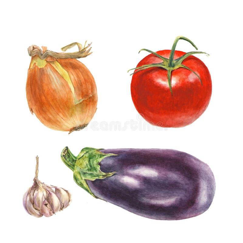 Botanische Aquarellillustration der Zwiebel, Tomate, Knoblauch, Aubergine lizenzfreie abbildung