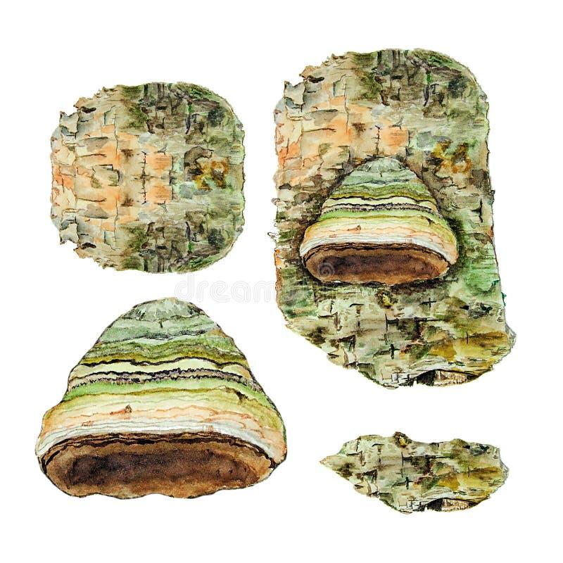 Botanische Aquarellillustration von Barke und Pilz polyporales auf weißem Hintergrund vektor abbildung