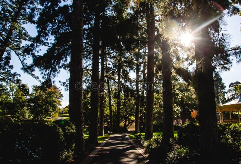 Botanische de pijnboomplantkunde van tuin bosbendigo Australië royalty-vrije stock afbeeldingen