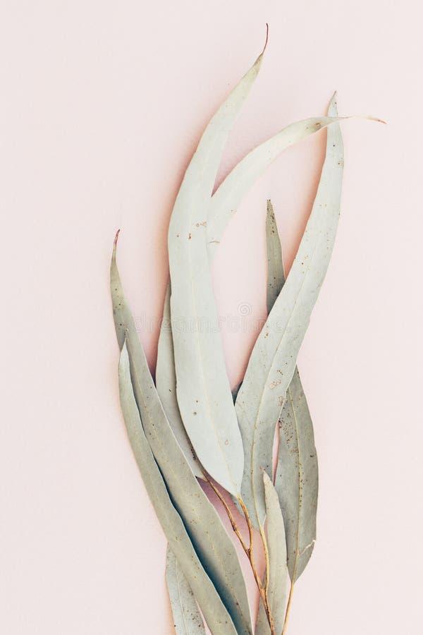 Botanische druk, de close-up van eucalyptusbladeren op roze document achtergrond royalty-vrije stock foto's