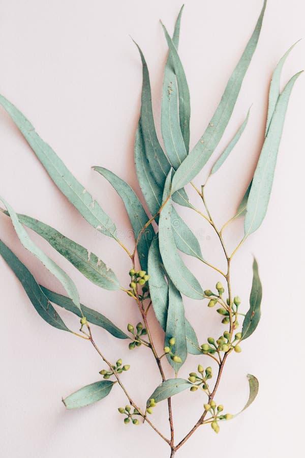 Botanische druk, de close-up van de eucalyptustak op roze document achtergrond stock fotografie