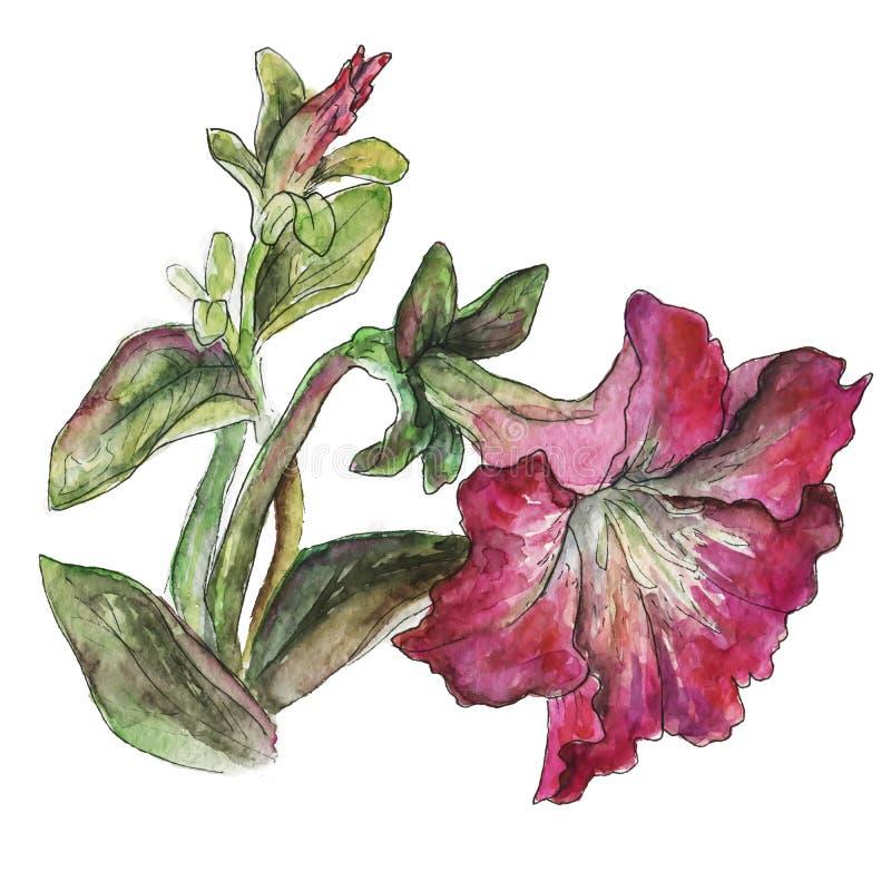 botanische illustratie van een roze bloem stock afbeeldingen