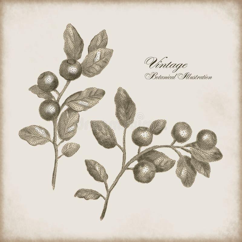 Botanische illustratie van een twijg van bessen royalty-vrije illustratie