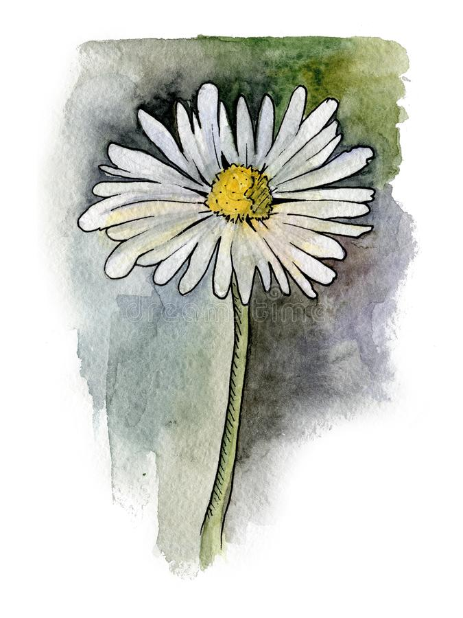 Botanische illustratie van madeliefje stock foto