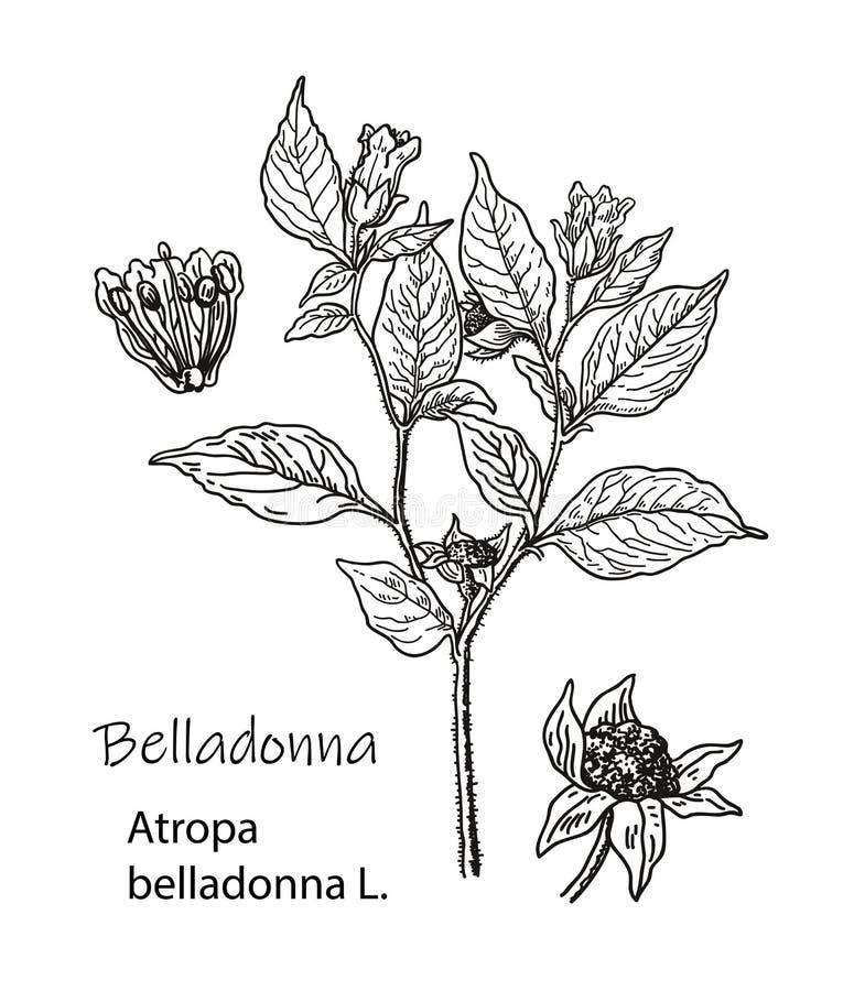Botanische illustratie van Wolfskers Hand getrokken schets van giftige installatie - Atropa wolfskers Gevaarlijke mooi stock foto