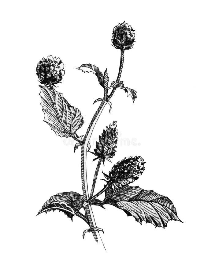 Botanische Illustration der schwarzen Tinte von Psoralea corylifolia Kraut, Blumen und Blättern Handgezogene Grafiken von natürli lizenzfreie abbildung