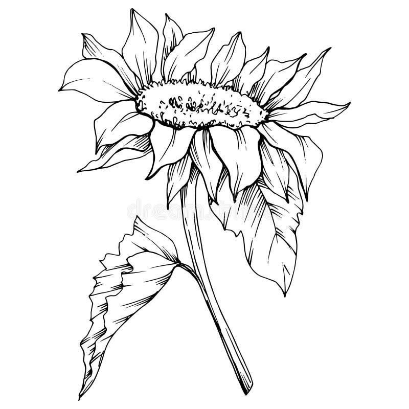Botanische mit Blumenblume der Vektor-Sonnenblume Gravierte Tintenschwarzweiss-kunst Lokalisiertes Sonnenblumenillustrationseleme lizenzfreie abbildung