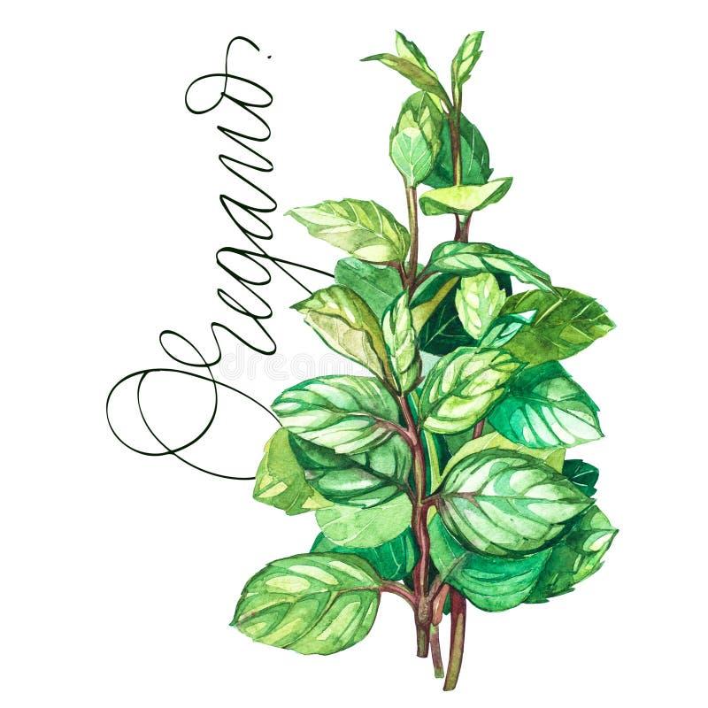 Botanische tekening van een orego Versiert de waterverf mooie illustratie van culinaire die kruiden voor het koken worden gebruik vector illustratie