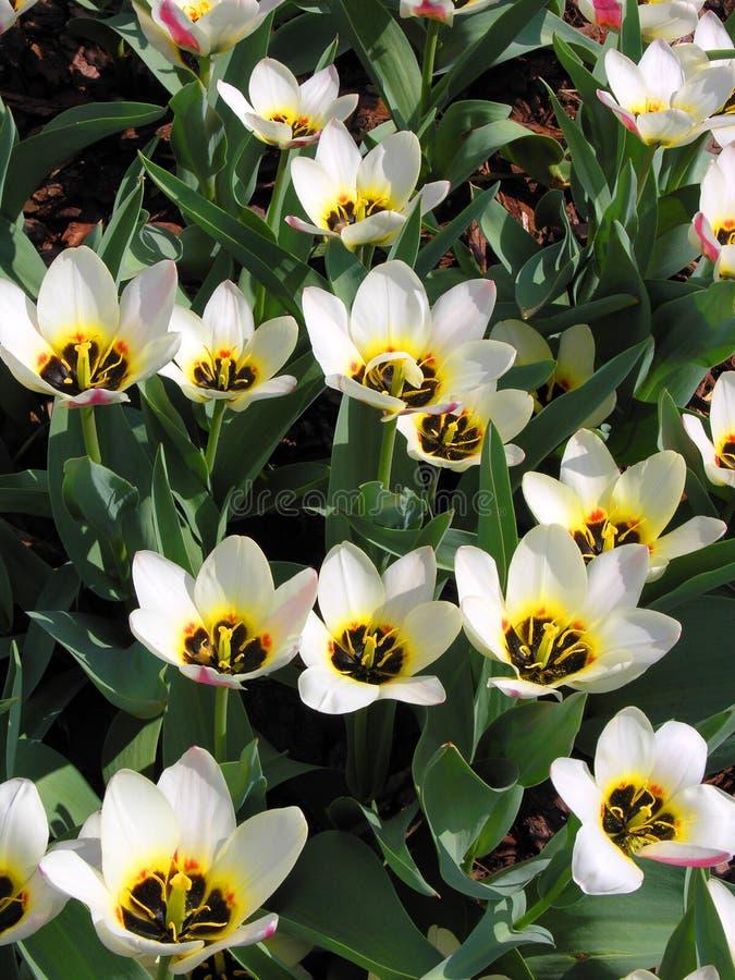 Botanische tulpen royalty-vrije stock afbeelding