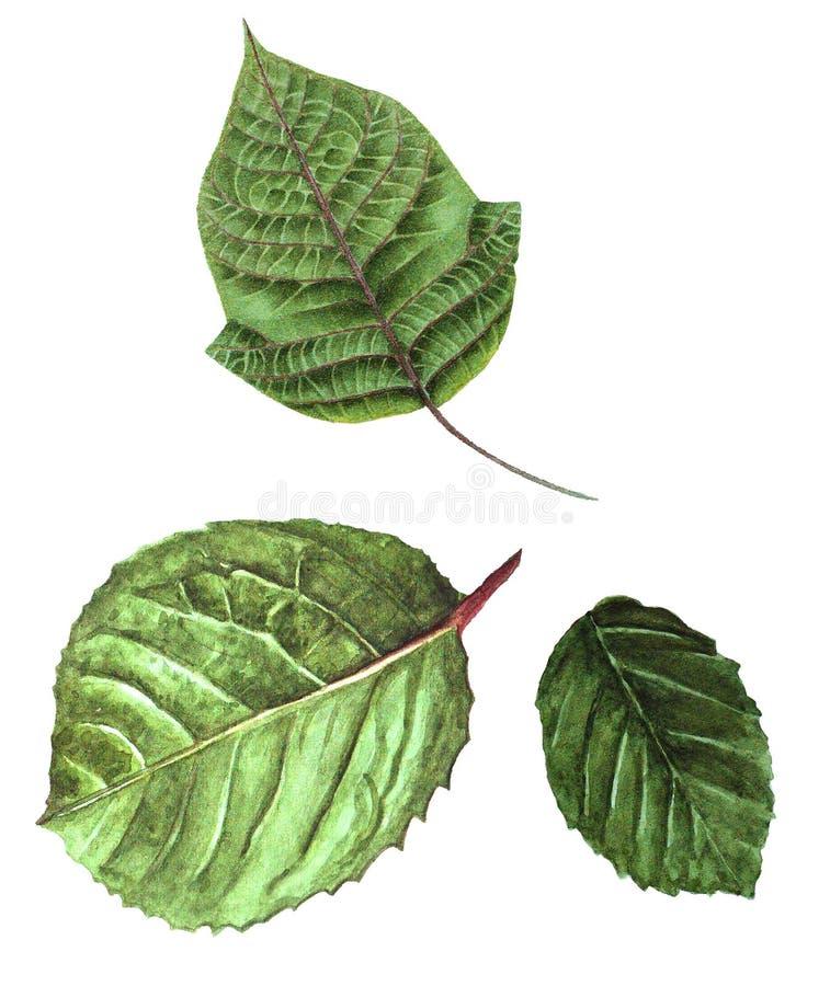 Botanische waterverf met groene bladeren stock afbeeldingen
