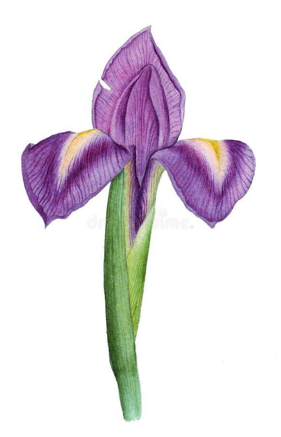Botanische waterverf met iris stock fotografie