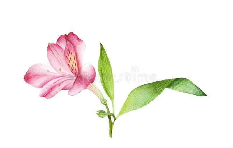 Botanische waterverf van roze alstroemeria royalty-vrije stock foto's