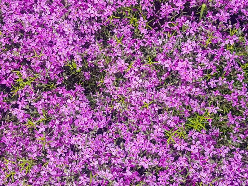 Botanischer Garten Kiews im Mai, lila Blumen blühen stockfotografie