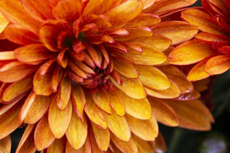 Botanischer Hintergrund mit dezentrierten orangefarbenen Blütenblättern, Blütendekoration, Orangenblume in der Nähe mit Auswahl lizenzfreies stockbild