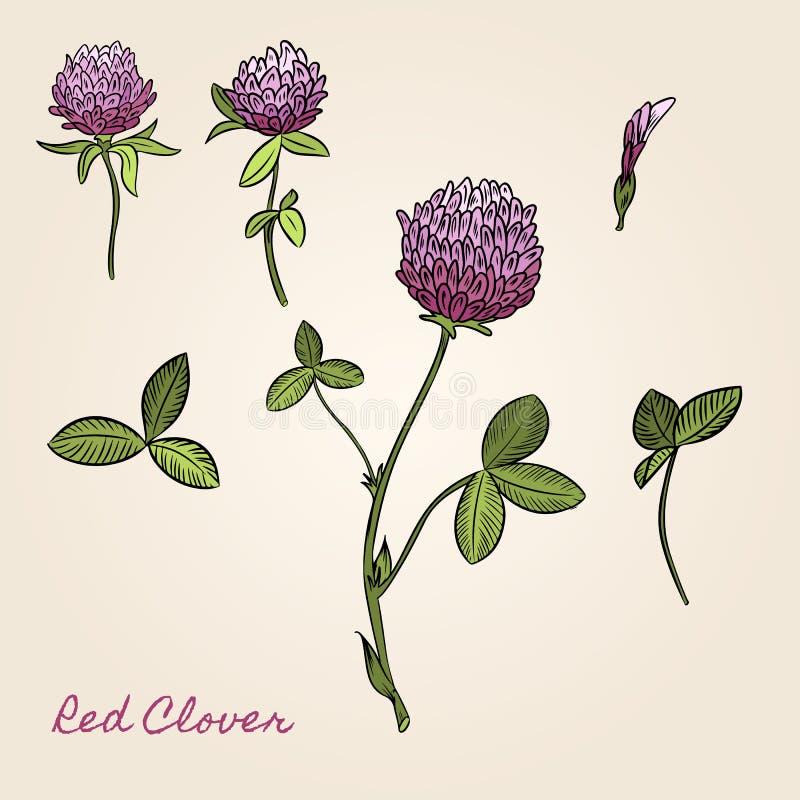 Botanisk bild f?r r?d v?xt av sl?ktet Trifolium F?r b?cker klisterm?rkear, affischer, reng?ringsdukdesign royaltyfri illustrationer