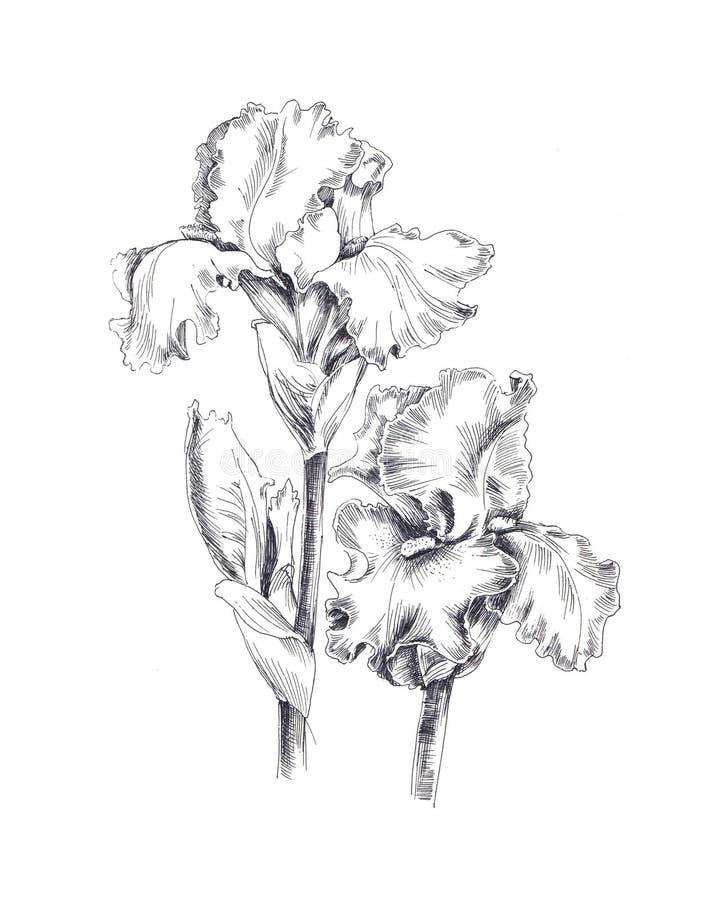 Botanisk grafisk illustration av irins i vitt och svart royaltyfri illustrationer