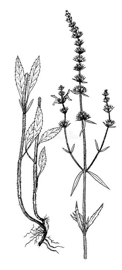 Botanisk illustration för Stachysändtarmar royaltyfri illustrationer