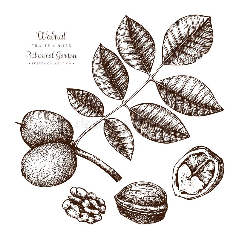 Botanisk illustration för valnöt Tappningträdet skissar på vit bakgrund Utdragna vektormuttrar för hand vektor illustrationer