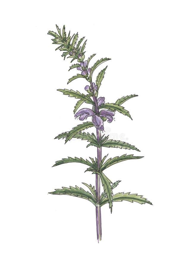 Botanisk illustration för vattenfärg av lila söta william stock illustrationer