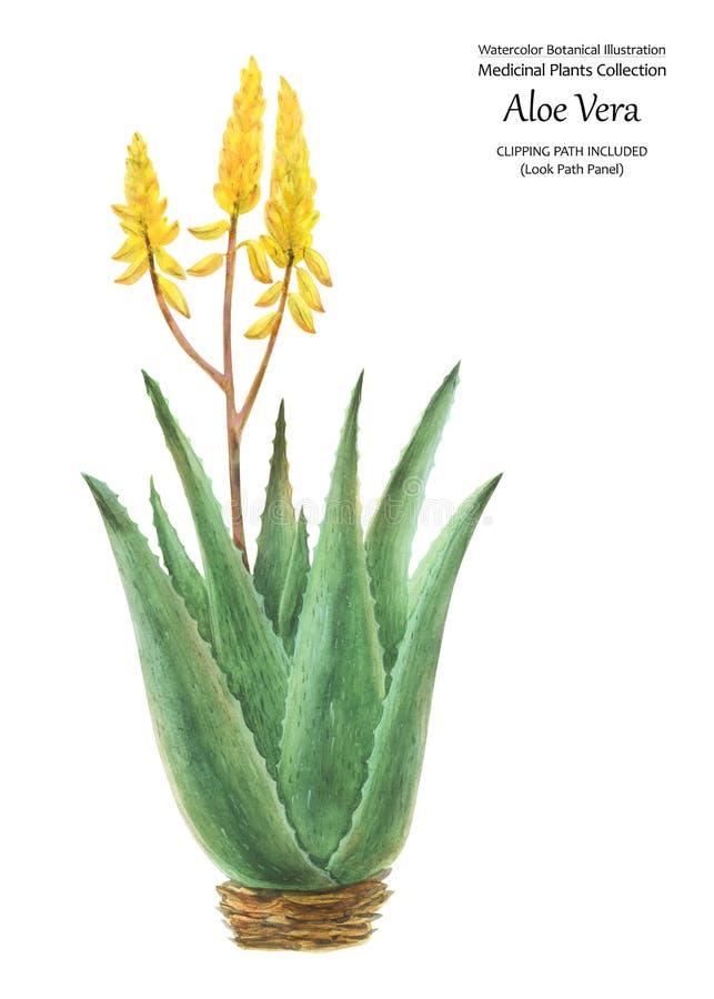 Botanisk illustration för vattenfärg i oldschoolstilaloe Vera Bush stock illustrationer
