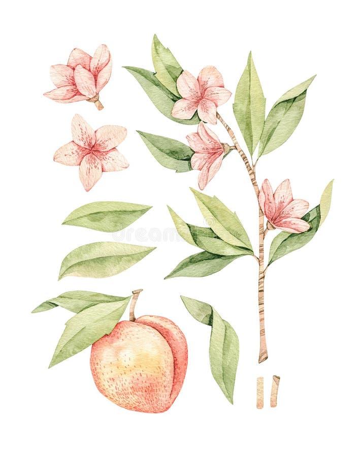 Botanisk illustration f?r vattenf?rg bostonian Persikafrukt, rosa blommor och sidor Blom- blomningbeståndsdelar G?ra perfekt f?r  stock illustrationer