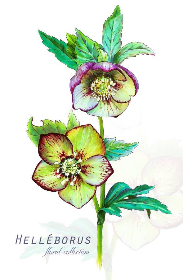 Botanisk illustration Vykortkort med att blomstra blomman för helleboreHelleborusodorus vektor illustrationer