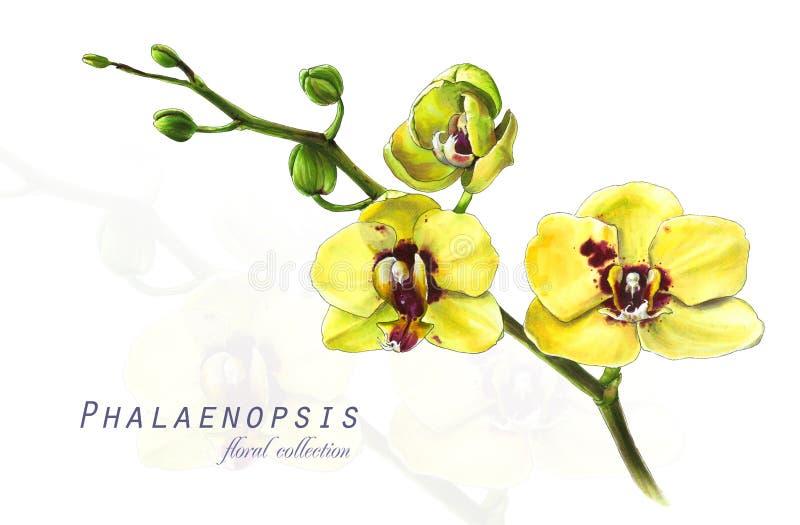 Botanisk illustration Vykortkort med att blomstra den gula orkidéphalaenopsisblomman vektor illustrationer