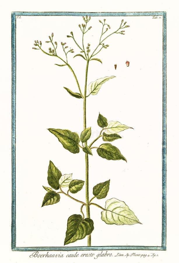 Botanisk tappningillustration av växten för glabro för Boerhaavia cauleerecto royaltyfri illustrationer