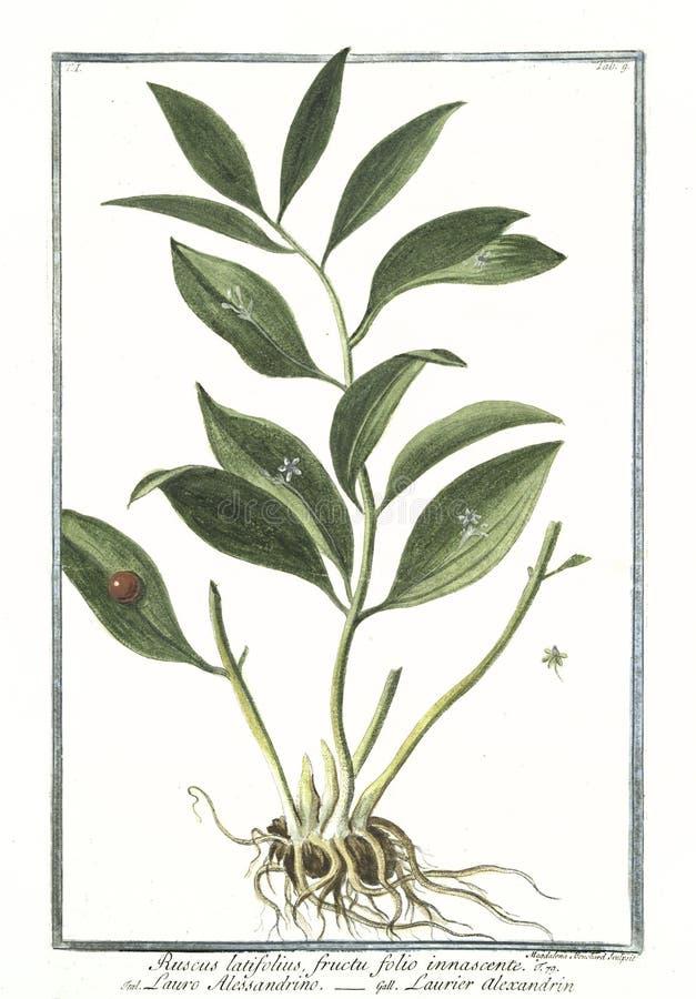 Botanisk tappningillustration av växten för innascente för folioark för Ruscuslatifoliusfructu stock illustrationer