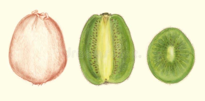 botanisk teckningskiwi arkivbilder