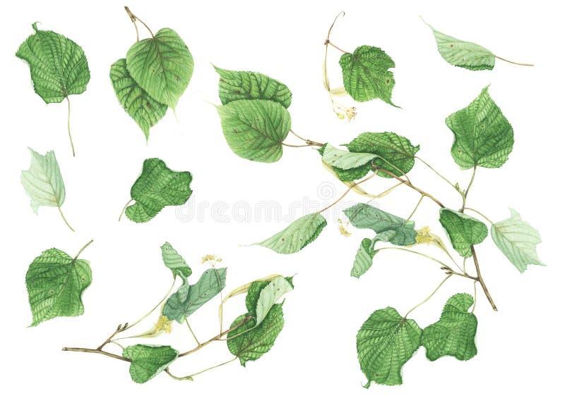 Botanisk uppsättning med filialer och sidor av linden, vattenfärgmålning royaltyfri illustrationer