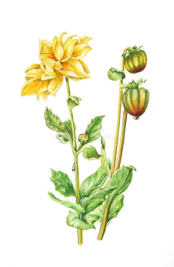 Botanisk vattenfärgillustration av en gul dahlia med blommor, sidor, knoppar och daggdroppar vektor illustrationer