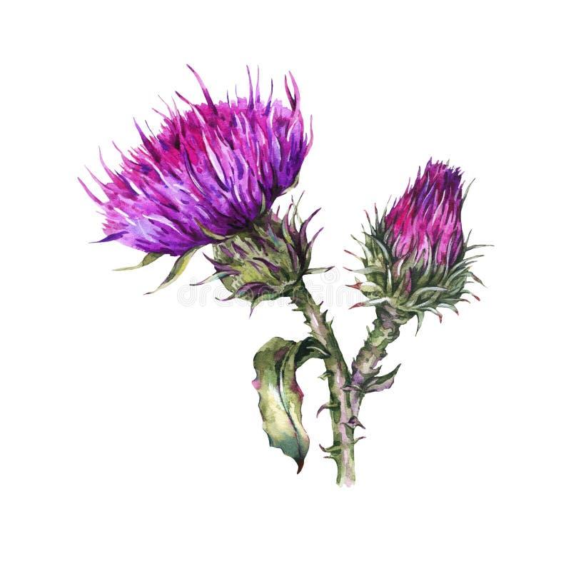 Botanisk vattenfärgillustration av tisteln Lösa blommor för tappning, ängörter stock illustrationer