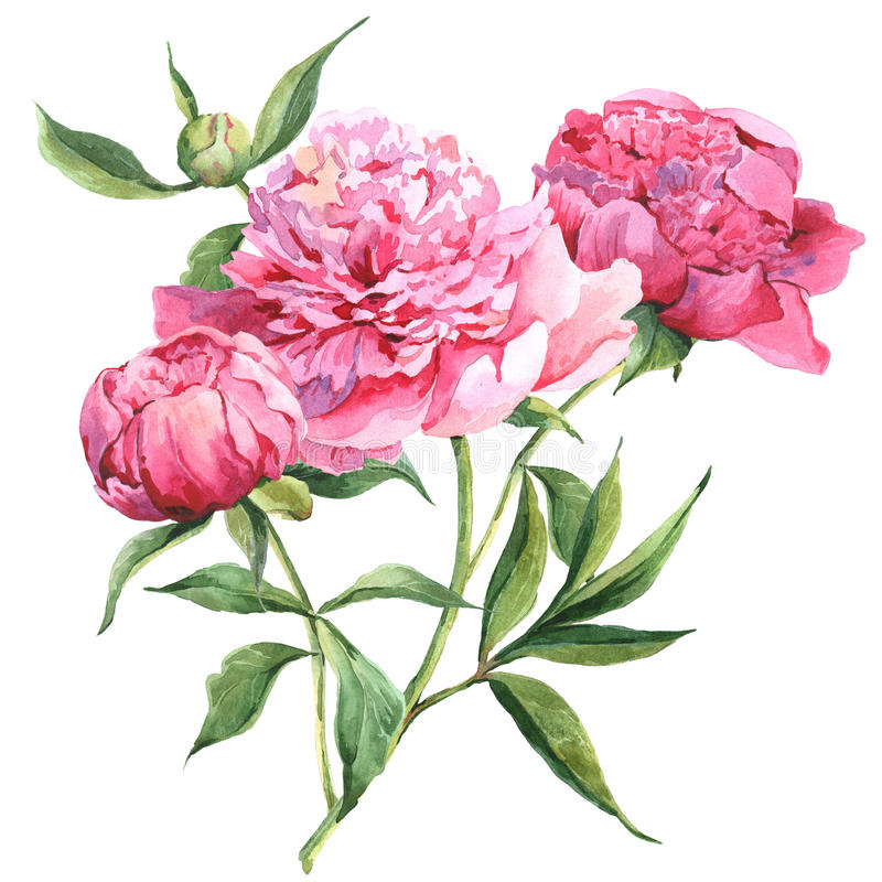 Botanisk vattenfärgillustration för rosa pioner vektor illustrationer