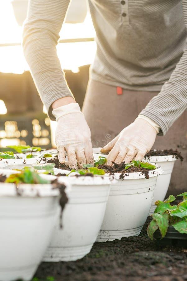 Botaniste masculin plantant des jeunes arbres dans des pots photos libres de droits