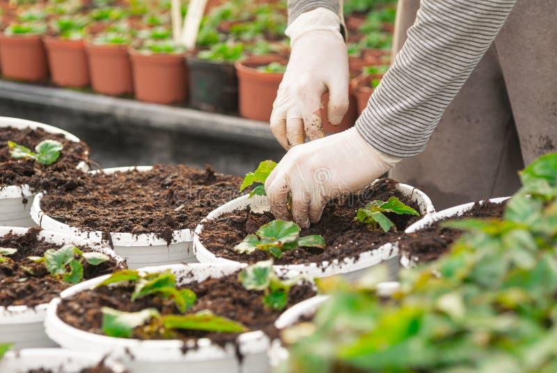 Botaniste masculin plantant des jeunes arbres dans des pots photographie stock libre de droits