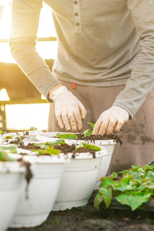 Botaniste masculin plantant des jeunes arbres dans des pots images stock