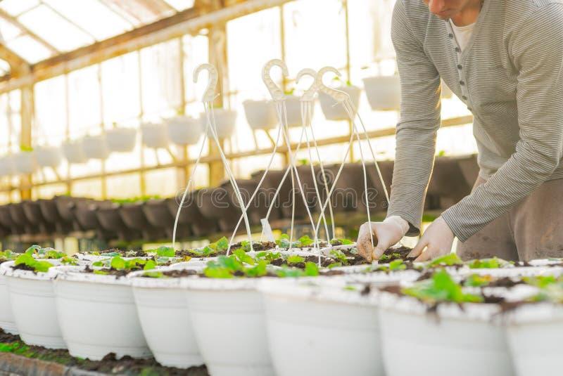 Botaniste masculin plantant des jeunes arbres dans des pots images libres de droits