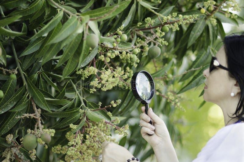 Botaniste vérifiant la croissance des fleurs de mangue photos stock