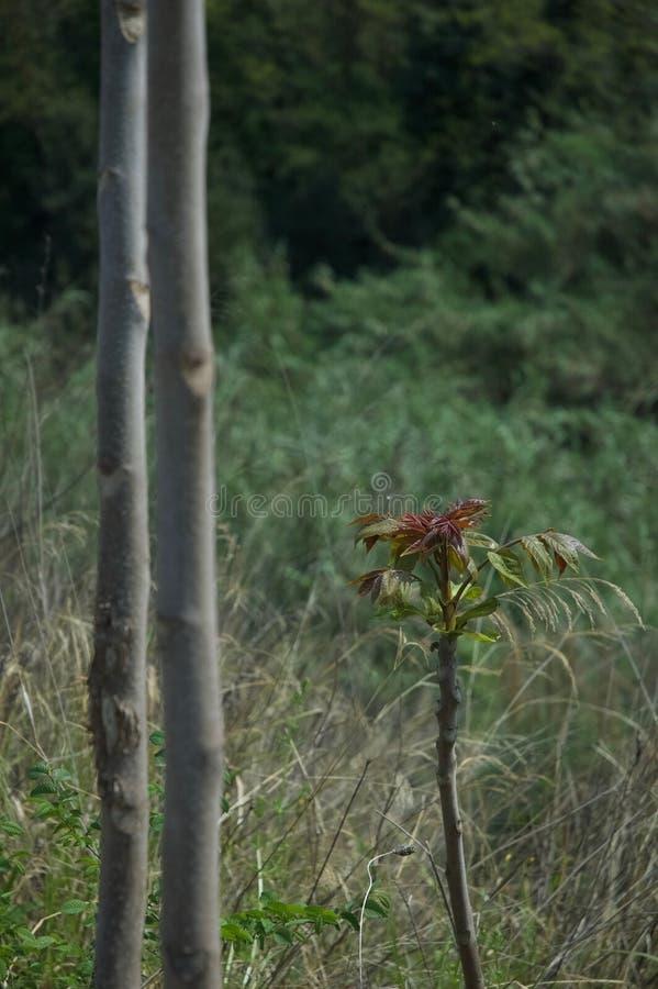 botany bukowi Canada drzewa young zdjęcia royalty free