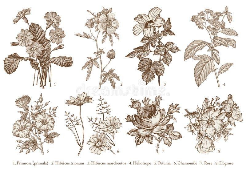 Botany Set flowers Drawing engraving Vector victorian Illustration Primrose Hibiscus Heliotrope Petunia Chamomile Rose, Dogrose stock illustration