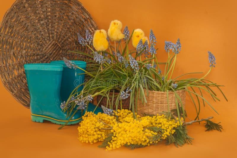Botas azules de goma siguientes florecientes del muscari y de la mimosa en un fondo de la mostaza fotos de archivo