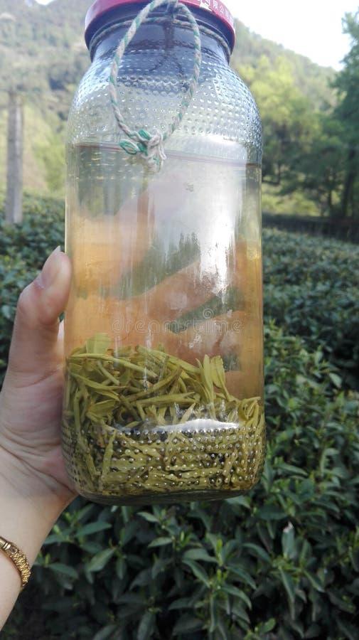 Botella orgánica del té que lleva a cabo la situación disponible en jardín de té en Hangzhou, China foto de archivo libre de regalías