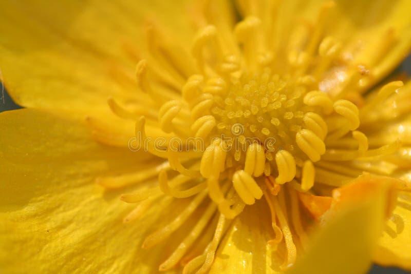 Boterbloem in macro stock fotografie
