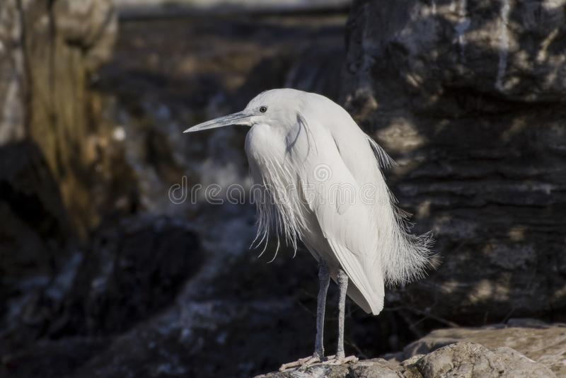 Egrets and herons royalty free stock photo
