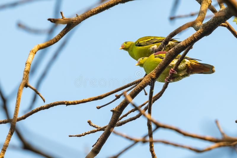 Both male and female Thick-billed Green Pigeon perching on Bo tree. Phuttha Monthon Park, Nakornpathom, Thailand stock photos