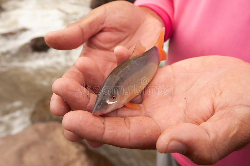 Botia or Loach in fisherman hands, beauty barbel or canine tooth near the mouth. Freshwater fish. Local fishing at Nan River,. North Thailand. Rapids stock photography